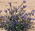 Phacelia campanularia.jpg