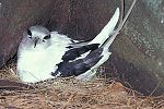 A long-tailed white bird with dark wings sits on a nest