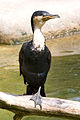 Phalacrocorax lucidus -Roger Williams Park Zoo, USA-8a.jpg