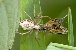 Philodromus sp.with.prey.jpg