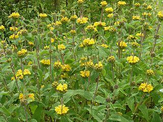 <i>Phlomis longifolia</i>