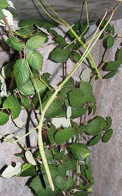 Phobaeticus serratipes, Weibchen