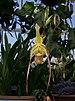 Phragmipedium les dirouilles (70500).jpg