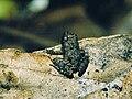 Phrynobatrachus ungujae03.jpg