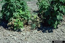 Phytophthora root and crown rots of raspberry.jpg