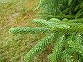 Picea brachytyla Scone palace 02.jpg