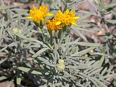 240px picradeniopsis oppositifolia (4015289311)