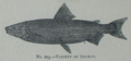 Picture Natural History - No 203 - Variety of Salmon.png