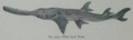 Picture Natural History - No 219 - The Saw Fish.png