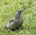 Picus viridis sharpei 090.jpg