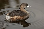 Pied-billed Grebe 0561.jpg