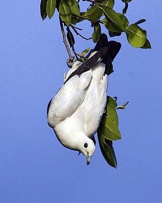 Hicks Island - Image: Pied Imperial Pigeon, Ducula bicolor bicolor
