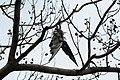 Pigeon pendu 2.jpg