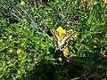 PikiWiki Israel 43682 Butterfly.jpg