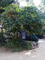 PikiWiki Israel 53347 montefiore tree in the tropical garden in tel aviv.jpg