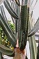 Pilosocereus catingicola pm.jpg
