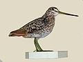 Pin-tailed Snipe specimen RWD.jpg