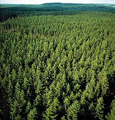 Pine forest in Sweden.jpg