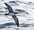 Pink-footed Shearwater, 30 miles offshore of Newport, OR, 20 October 2012 (8115021602).jpg