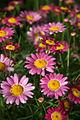 Pink daisies (1319940631).jpg