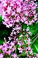 Pink flowers of mt Athos.jpg