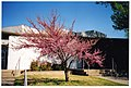 Pink tree in front of the Library.jpg