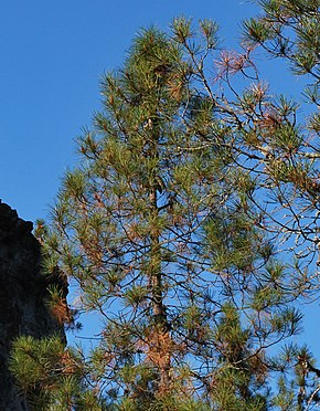 Description de l'image Pinus attenuata1 Shultzc.jpg.