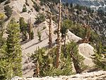 Pinus flexilis forest Mount Baden-Powell.jpg