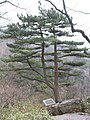 Pinus hwangshanensis tree.jpg