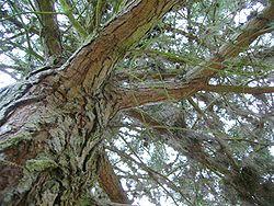 Écorce du Pinus muricata.