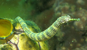 A Dragonface Pipefish