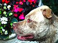 Pit Bull by Augusto Janiscki Junior - Flickr - AUGUSTO JANISKI JUNIOR.jpg