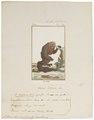 Pithecia leucocephala - 1798-1803 - Print - Iconographia Zoologica - Special Collections University of Amsterdam - UBA01 IZ20200226.tif