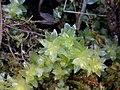 Plagiomnium undulatum 121185693.jpg