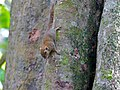 Plain Pigmy Squirrel (Exilisciurus exilis) (8077414294).jpg