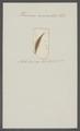 Planaria auriculata - - Print - Iconographia Zoologica - Special Collections University of Amsterdam - UBAINV0274 105 09 0008.tif