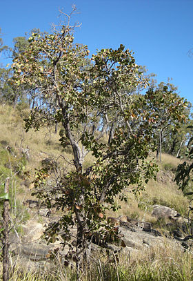 Planchonia careya tree.jpg
