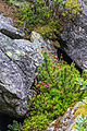 Plants from the Krimml Falls 32.jpg