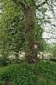Platan Šerkovice 2.jpg