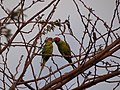Plum-headed Parakeet - Psittacula cyanocephala - DSC00980.jpg