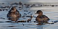 Podilymbus podiceps -Morro Bay, California, USA -swimming -two-8.jpg