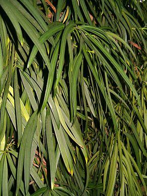 Großblättrige Steineibe (Podocarpus macrophyllus), Blätter.