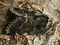 Poecilocampa populi ♂ - December moth (male) - Коконопряд тополёвый (самец) (40298901824).jpg