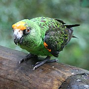 A green parrot with an orange-yellow forehead.