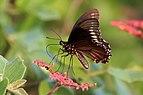 Polydamas swallowtail (Battus polydamas polydamas).JPG