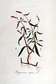 Polygonum minus — Flora Batava — Volume v6.jpg