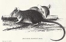 Rato-do-pacífico