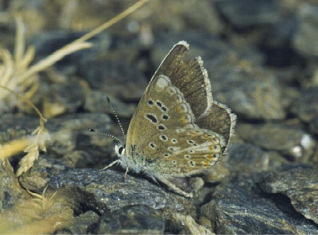 Sưu tập Bộ cánh vảy 3 - Page 42 640px-Polyommatus_golgus_-_Nature_Conservation-001-073-g025