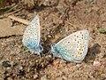 Polyommatus icarus 02.JPG