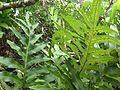 Polypodium scolopendria.jpg